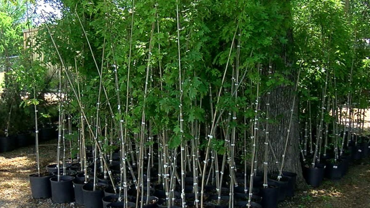 Naturescape Nursery and Parks Jones Realty partner to give away Shumard Oaks