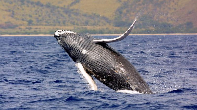 Humpback whales live in all oceans around the world.