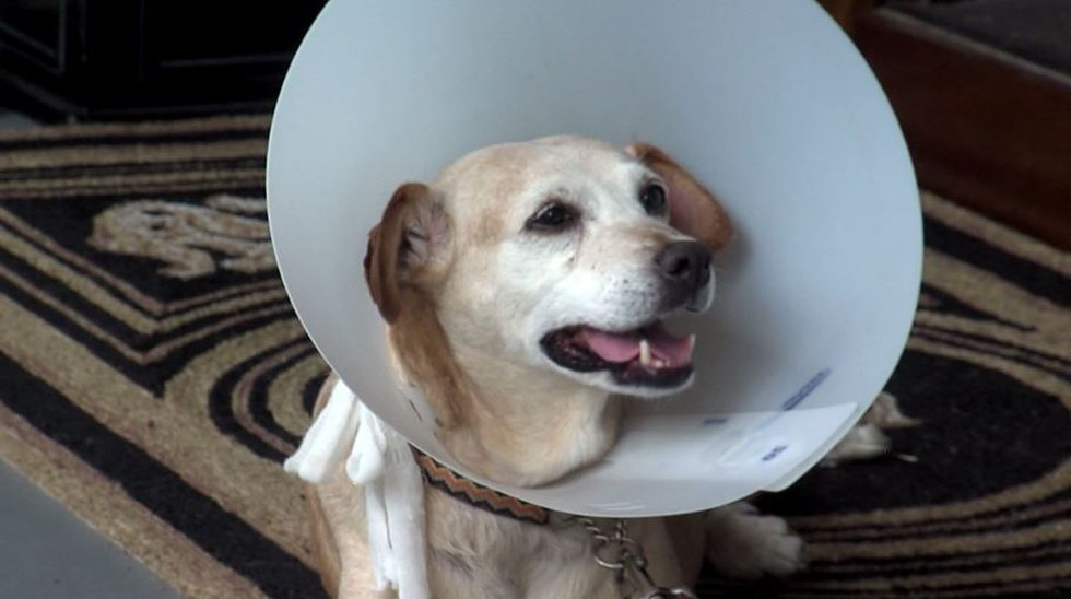 Bruce Savage rescued his dog, Hanna, from an alligator attack. Her tail was bitten off, and she...